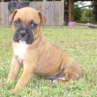 Boerboel Puppies for sale in New York, NY, USA. price: NA