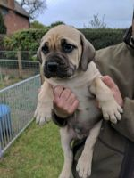 Boerboel Puppies for sale in Detroit, MI, USA. price: NA