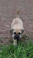 Boerboel Puppies for sale in Michigan Ave, Inkster, MI 48141, USA. price: NA