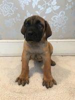 Boerboel Puppies for sale in Michigan Avenue, Chicago, IL, USA. price: NA