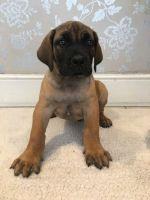 Boerboel Puppies for sale in Florence St, Denver, CO, USA. price: NA