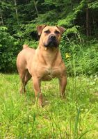 Boerboel Puppies for sale in Sidney, NY, USA. price: NA