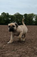 Boerboel Puppies for sale in Beverly Hills, CA 90210, USA. price: NA