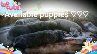 Boerboel Puppies for sale in Greeneville, TN 37745, USA. price: NA