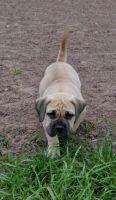 Boerboel Puppies for sale in Boston, MA, USA. price: NA