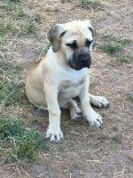 Boerboel Puppies for sale in Florida Blvd, Baton Rouge, LA, USA. price: NA