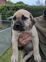Boerboel Puppies for sale in Los Angeles, CA, USA. price: NA