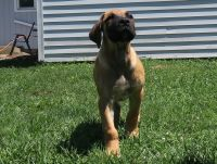 Boerboel Puppies for sale in Crown Point, IN 46307, USA. price: NA