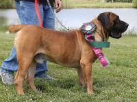Boerboel Puppies for sale in Roy, UT, USA. price: NA