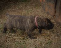 Boerboel Puppies for sale in Danbury, NC, USA. price: NA