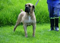 Boerboel Puppies for sale in Byram, MS, USA. price: NA