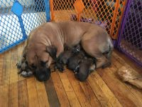 Boerboel Puppies for sale in Boulder, CO, USA. price: NA