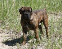 Boerboel Puppies for sale in Manitowoc, WI 54220, USA. price: NA