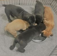 Boerboel Puppies for sale in Bronx, NY 10460, USA. price: NA