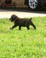 Boerboel Puppies for sale in Peoria, IL 61612, USA. price: NA