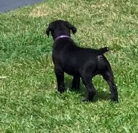Boerboel Puppies for sale in Oklahoma City, OK 73101, USA. price: NA