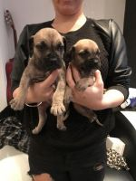 Boerboel Puppies for sale in Chicago, IL, USA. price: NA
