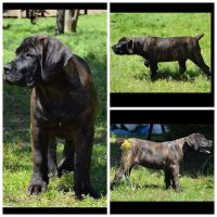 Boerboel Puppies for sale in Greenwood, AR 72936, USA. price: NA
