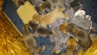 Boerboel Puppies for sale in Buffalo, NY 14203, USA. price: NA