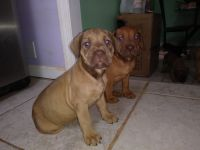 Boerboel Puppies for sale in Randallstown, MD, USA. price: NA