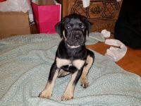 Boerboel Puppies Photos