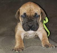 Boerboel Puppies for sale in Arlington, VA, USA. price: NA