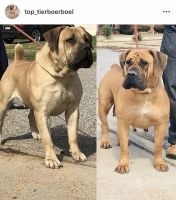 Boerboel Puppies for sale in St. Louis, MO, USA. price: NA