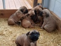 Boerboel Puppies for sale in Westlake, OH 44145, USA. price: NA