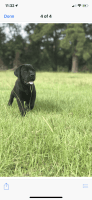 Boerboel Puppies for sale in Hockley County, TX, USA. price: NA