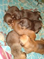 Boerboel Puppies for sale in Kittanning, PA 16201, USA. price: NA