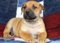 Boerboel Puppies for sale in Houston, TX, USA. price: NA