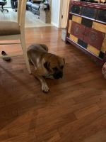 Boerboel Puppies for sale in Washougal, WA, USA. price: NA
