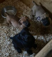 Boerboel Puppies for sale in Amherst, NY, USA. price: NA