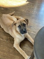 Boerboel Puppies for sale in Andover, CT, USA. price: NA