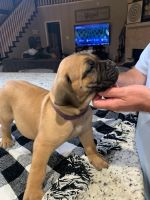 Boerboel Puppies for sale in Spring, TX 77373, USA. price: NA