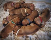 Boerboel Puppies for sale in Canandaigua, NY 14424, USA. price: NA
