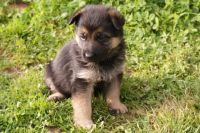 Bohemian Shepherd Puppies for sale in Missiouri CC, Elsberry, MO 63343, USA. price: NA