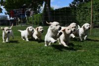 Bohemian Shepherd Puppies for sale in Indianapolis, IN, USA. price: NA
