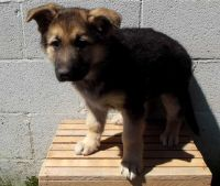 Bohemian Shepherd Puppies for sale in Adell, WI 53001, USA. price: NA