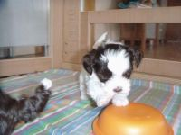 Bolognese Puppies for sale in Alton, ME 04468, USA. price: NA