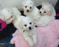 Bolognese Puppies for sale in Honolulu, HI, USA. price: NA