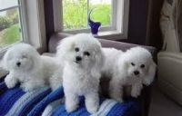 Bolognese Puppies for sale in Indianapolis, IN, USA. price: NA