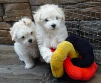 Bolognese Puppies for sale in Cleveland, OH, USA. price: NA