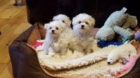 Bolognese Puppies for sale in Washington, DC, USA. price: NA