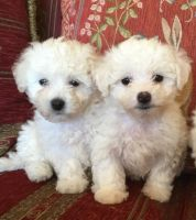 Bolognese Puppies for sale in Dallas, TX, USA. price: NA