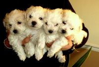 Bolognese Puppies for sale in 58503 Rd 225, North Fork, CA 93643, USA. price: NA