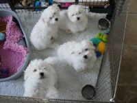 Bolognese Puppies for sale in Houston, TX, USA. price: NA