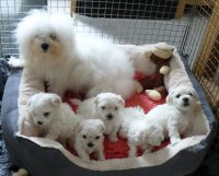 Bolognese Puppies for sale in Bloomfield Ave, Bloomfield, CT 06002, USA. price: NA