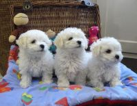 Bolognese Puppies for sale in Atlanta, GA, USA. price: NA