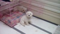 Bolognese Puppies for sale in Florence St, Denver, CO, USA. price: NA